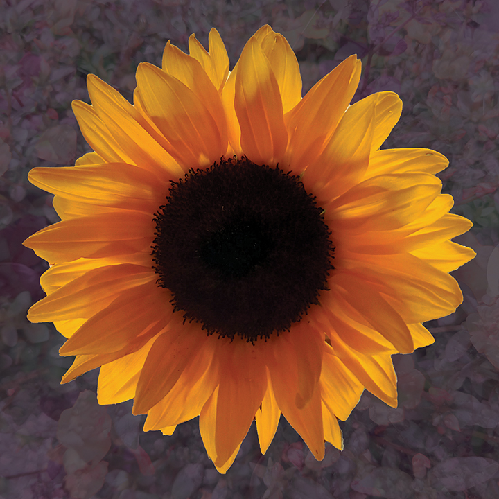 """Golden Sunflower, ltd edition archival inkjet prints on museum grade, 100% cotton rag paper. 10""""x10"""" format can be custom printed to size."""
